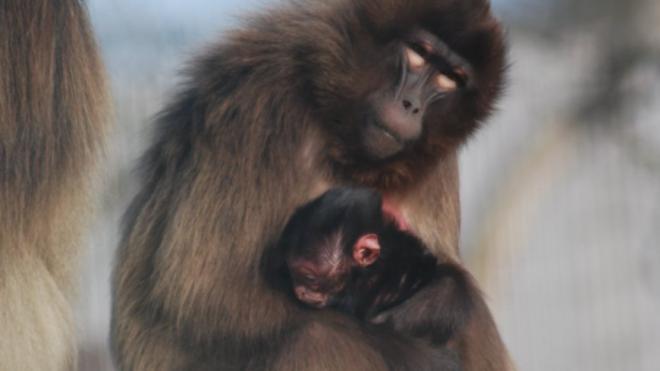 Allier : Naissance d'un bébé gélada